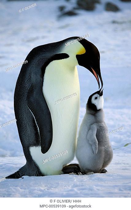 Emperor Penguin (Aptenodytes forsteri) feeding chick, Dumont d'Urville, East Antarctica, Antarctica