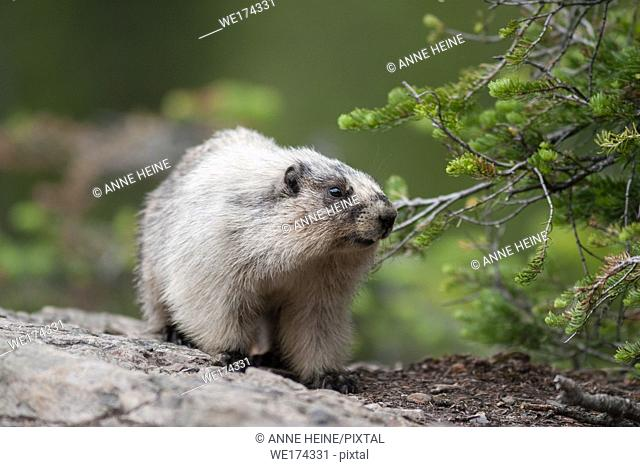 Wild marmot walking, wildlife of Canadian Rocky Mountains