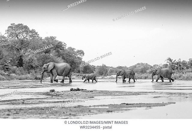 Loxodonta africana, Elephant herd crossing Sand River