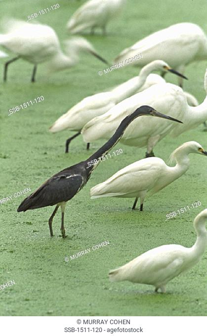 Tricolor HeronSnowy Egrets