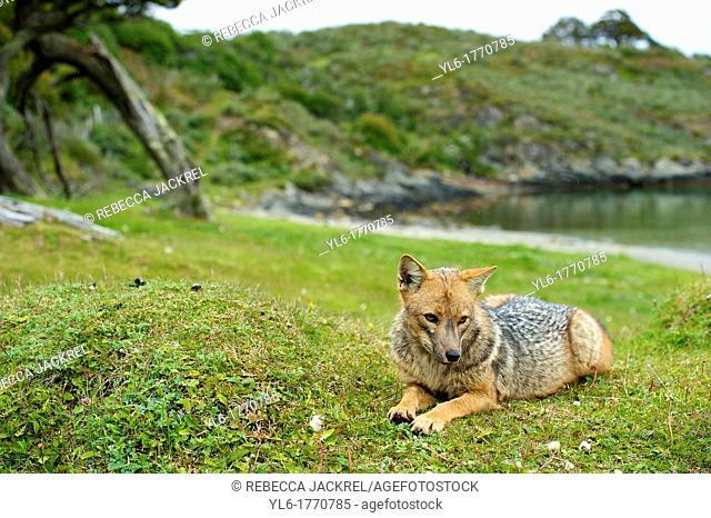 A Pategonian grey fox Lycalopex griseus in the Parque National Tierra del Fuego, Argentina