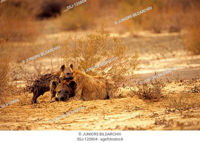 spotted hyena with cub / Crocuta crocuta