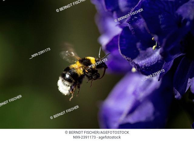 Garden bumblebee (Bombus hortorum), flying to the blossom of monkshood, Germany