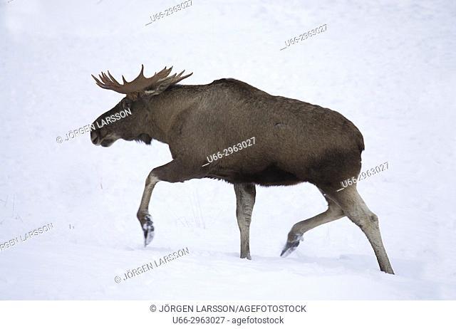 Moose bull, Jarvso, Halsingland, Sweden