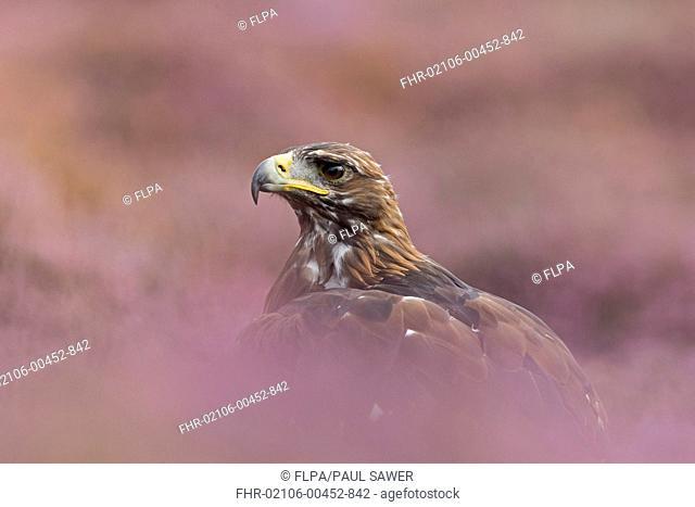 Golden Eagle (Aquila chrysaetos) juvenile, standing amongst flowering heather, September (captive)