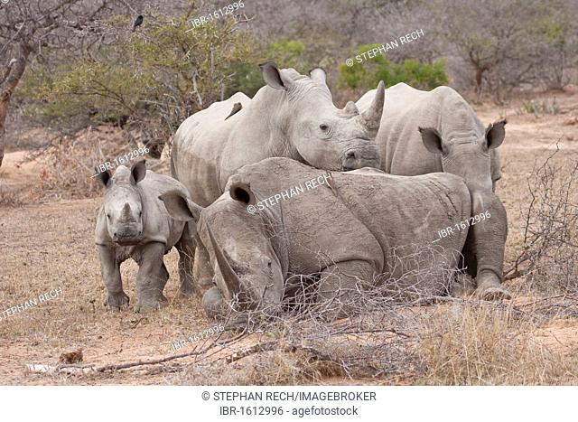 White Rhinoceros or Square-lipped rhinoceros (Ceratotherium simum), family, Tshukudu Game Lodge, Hoedspruit, Greater Kruger National Park, Limpopo Province