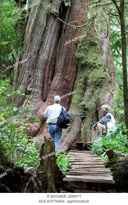 A senior couple inspects a large cedar tree along the boardwalk trail on Meares Island. Meares Island, Pacific Rim National Park Reserve, Tofino
