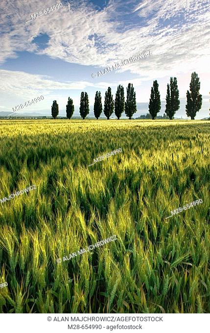 Fields of wheat with poplar trees, Skagit Valley Washington USA