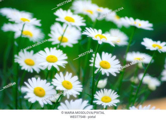 Shasta Daisies. Leucanthemum x superbum. May 2005, Maryland, USA
