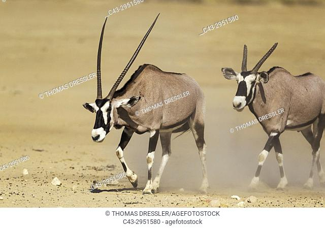 Gemsbok (Oryx gazella). Male with crippled horns follows a female. Kalahari Desert, Kgalagadi Transfrontier Park, South Africa