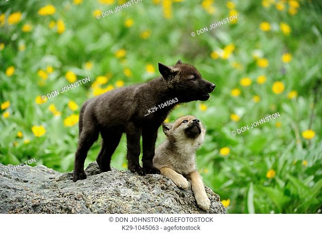 Gray wolf Canis lupus babies howling Bozeman Montana