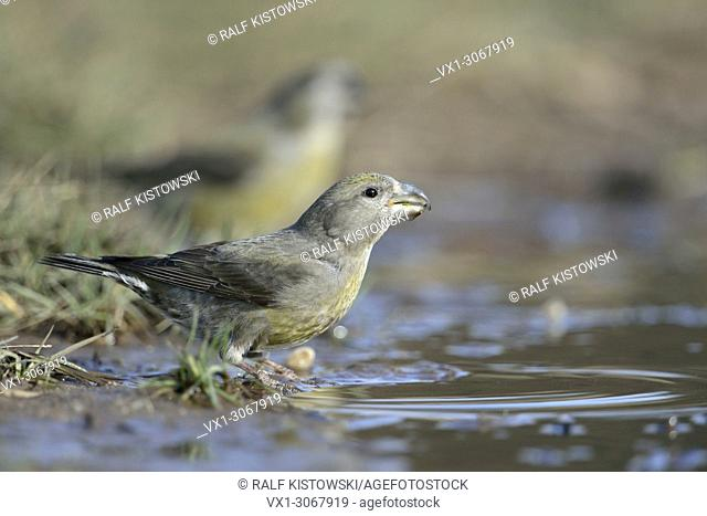 Parrot Crossbills ( Loxia pytyopsittacus ), two females, drinking at a natural puddle, photographed from a low point of view, wildlife, Europe