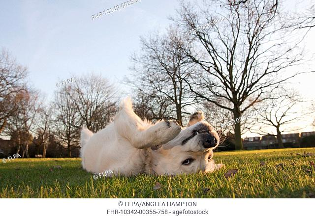 Domestic Dog, Golden Retriever, puppy, rolling on back in parkland, England, february