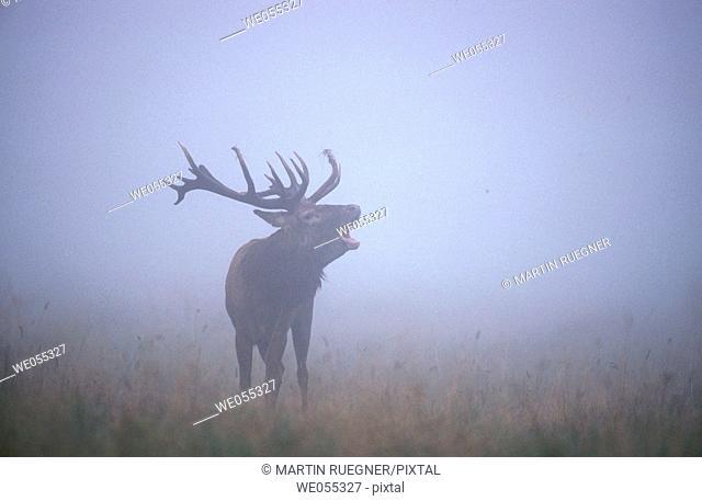 Red Deer (Cervus elaphus). Denmark