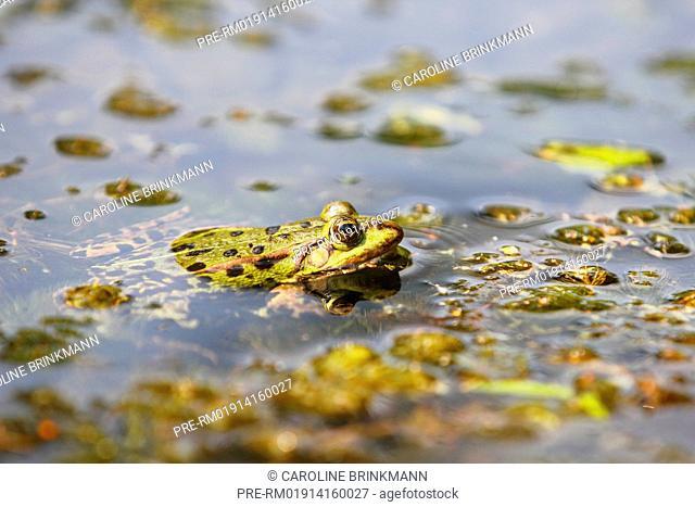 Edible frog, Rana esculenta / Teichfrosch, Rana esculenta
