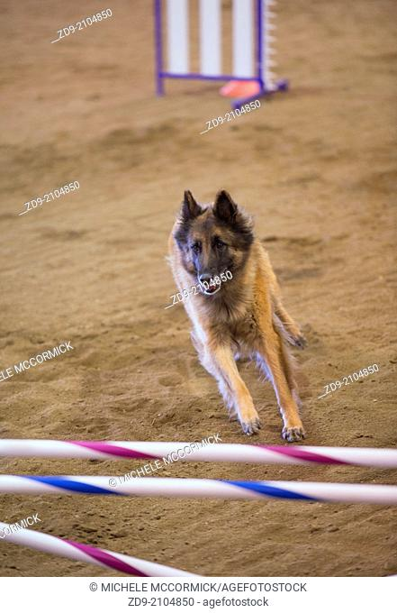 A Belgian Tervuren prepares to attach a hurdle at an agility trial