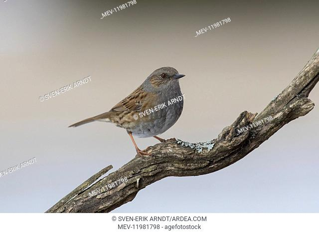 Dunnock adult bird perched on twig Germany