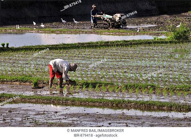 Rice paddies, seedlings being planted near Ubud, Bali, Indonesia
