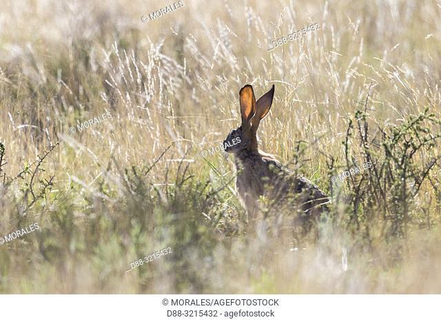 South Africa, Private reserve, Scrub hare (Lepus saxatilis)