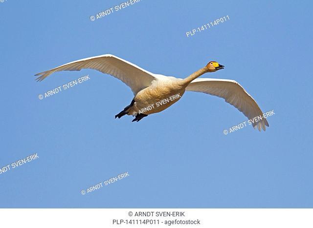 Whooper swan (Cygnus cygnus) in flight in winter