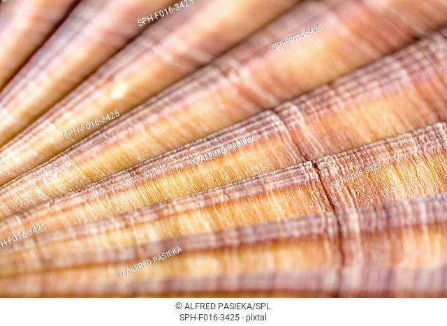 Red-ribbed scallop shell, macrophotograph