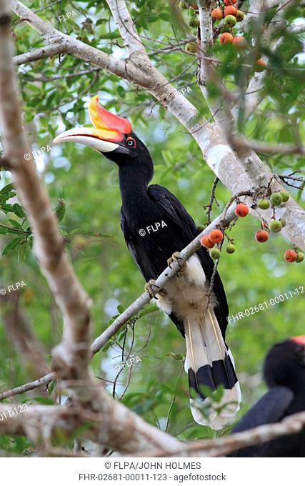 Rhinoceros Hornbill Buceros rhinoceros borneoensis adult, perched in fruiting tree, Kinabatangan River, Sabah, Borneo, Malaysia, march