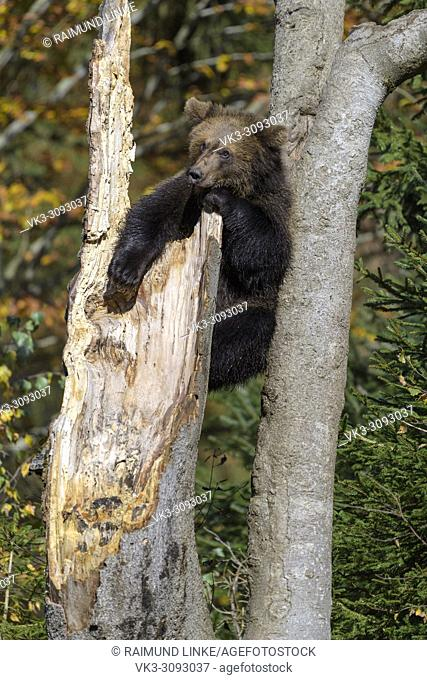 Brown bear, Ursus arctos, cub climbing on tree trunk, Germany