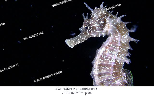 Short-snouted seahorse (Hippocampus hippocampus) swimming in the water column, close-up. Black Sea. Ukraine