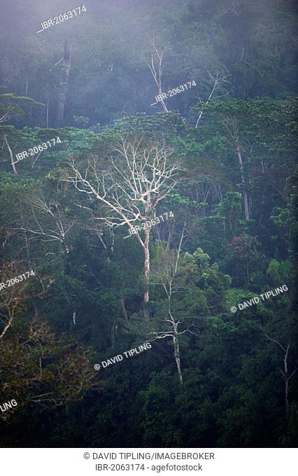 View across canopy of Amazonian rainforest at dawn, Tambopata, Peru, South America