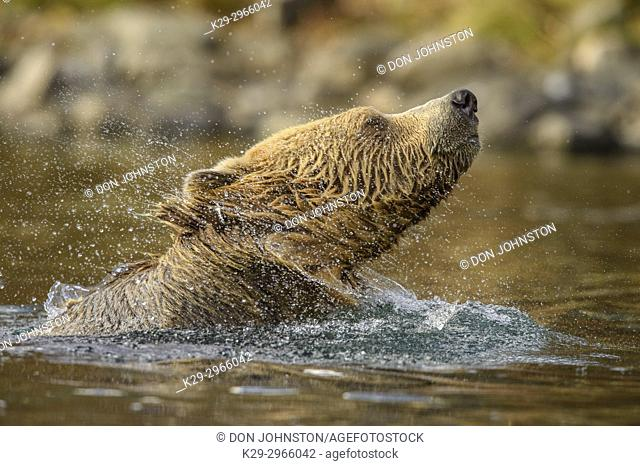 Grizzly bear (Ursus arctos)- Shaking water from fur in the Chilko River, Chilcotin Wilderness, BC Interior, Canada