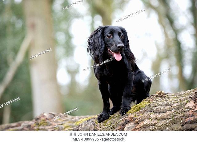 DOG - Cocker spaniel standing on top of fallen tree trunk