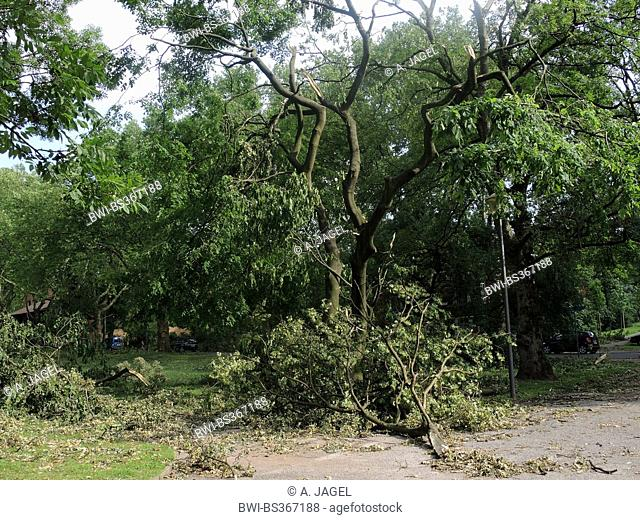 Yellow Wood (Cladrastis lutea), ravaged city park of Bochum by fallen trees and broken branches, storm front Ela at 2014-06-09, Germany, North Rhine-Westphalia