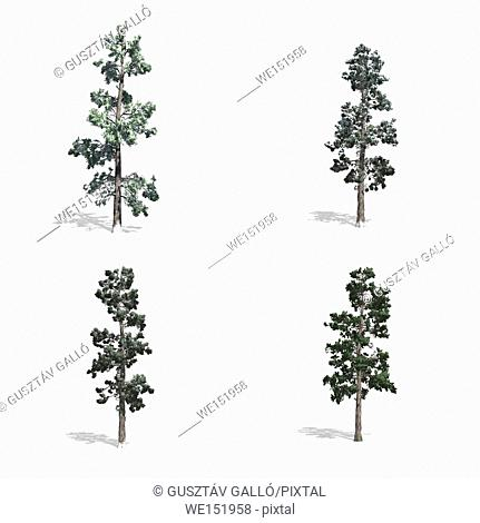 Piner trees, isolated on white background