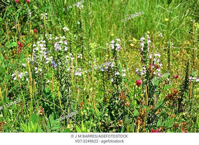 Mediterranean lineseed (Bellardia trixago or Bartsia trixago) is a hemiparasite herb native to Mediterranean Basin. This photo was taken in Menorca