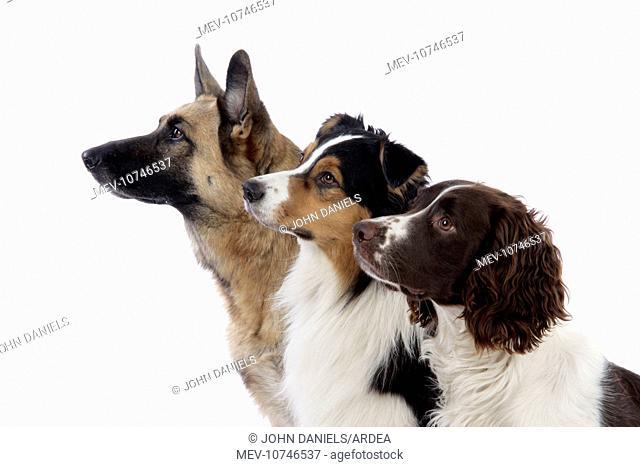 Australian Shepherd Dog / German Shepherd Dog / English Springer Spaniel Dog