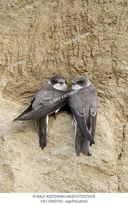 Sand Martin / Bank Swallow ( Riparia riparia), pair, perched together at their nest hole in a river bank, watching, wildlife, Europe