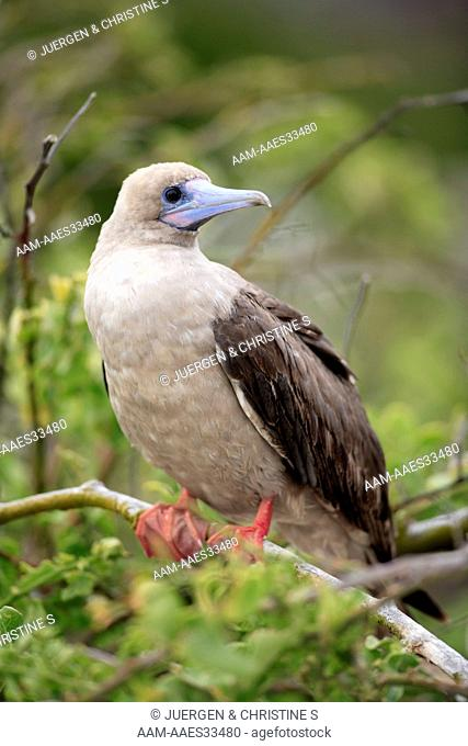 Red Footed Booby adult on tree (Sula sula) Galapagos Islands, Ecuador