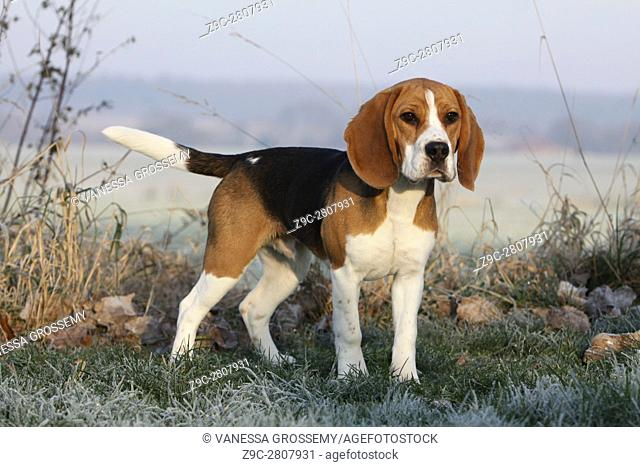 A Beagle dog standing in a meadow