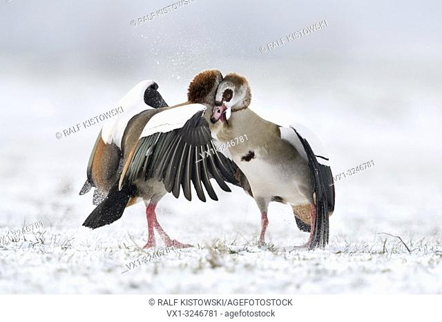 Egyptian Geese / Nilgaense (Alopochen aegyptiacus) in winter, in agressive fight, hard fight, fighting, struggeling, wildlife, Europe
