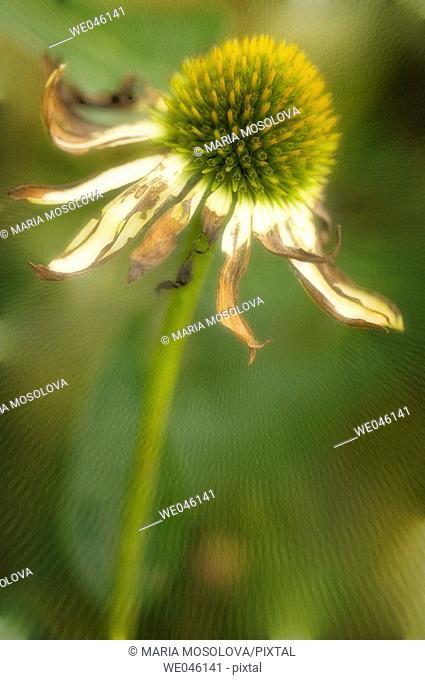 Echinacea hybrid. Medicinal plant. April 2005, Maryland, USA