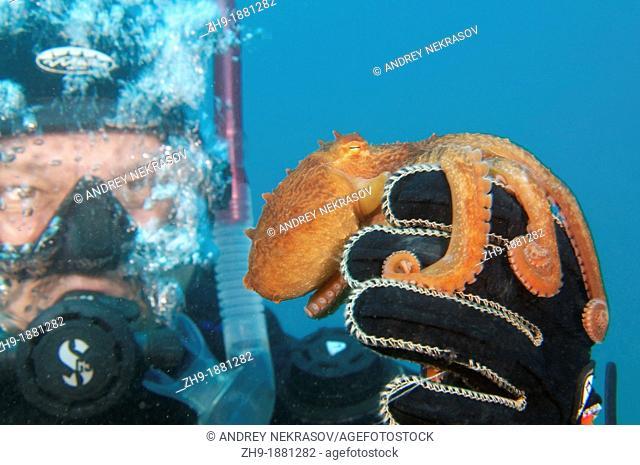 giant Pacific octopus or North Pacific giant octopus, Enteroctopus dofleini  Japan sea, Far East, Primorsky Krai, Russian Federation
