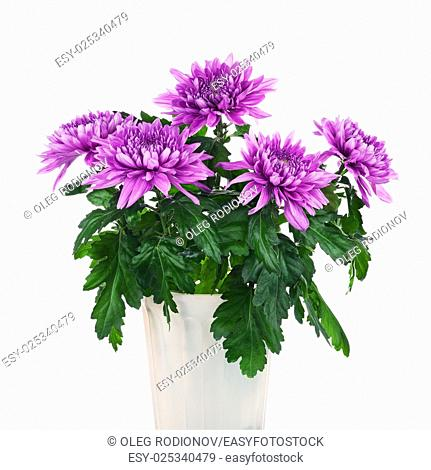 Bouquet of chrysanthemums in flower pot isolated on white background. Closeup