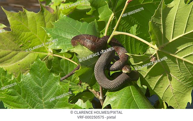Two Northern Water Snakes (Nerodia sipedon) bask in the sun while entangled with vegetation just above the surface of a stream in spring