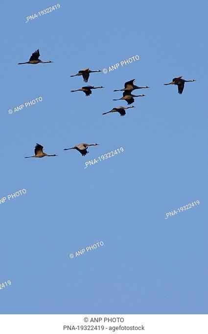 Common Crane Grus grus - Lac du Der Chantecoq, Champaubert, Haute-Marne, Champagne-Ardenne, France, Europe