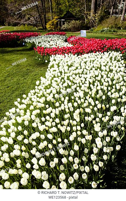 Spring Tulips in Bloom