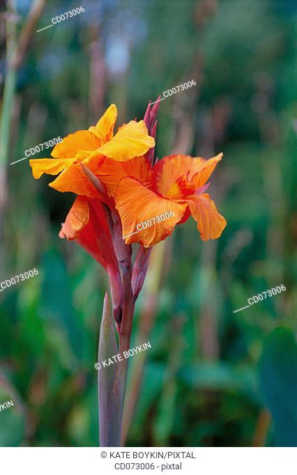 """Indian shot (Canna x """"Mandarin Orange"""")"""