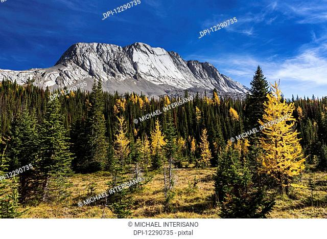 Alpine meadow with colourful larch trees in autumn and mountain with blue sky and clouds in the background, Kananaskis Provincial Park; Alberta, Canada