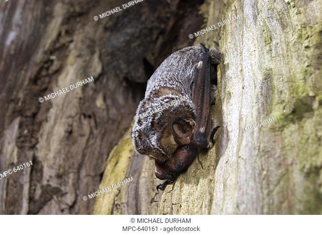 Hoary Bat Lasiurus cinereus, day roosting inside a tree snag, northern Oregon