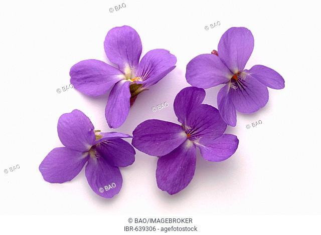 Sweet Violet or English Violet (Viola odorata), medicinal plant