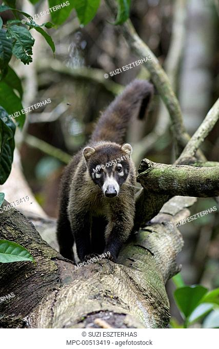 Coatimundi (Nasua nasua) in tree, northern Costa Rica